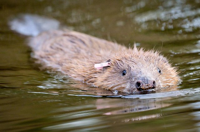Beavers have already been returned to parts of Scotland and other species may follow (Picture: Ben Birchall/PA Wire)