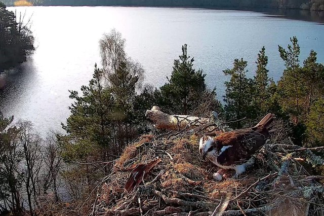 An osprey laid her third egg of the season at the Scottish Wildlife Trust's Loch of the Lowes reserve. Contributed.