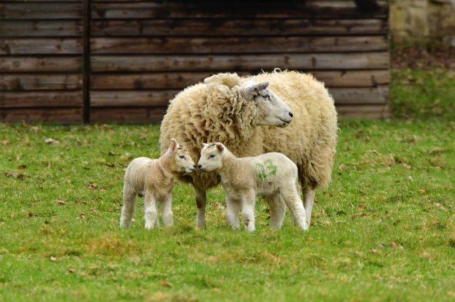 Nick Rhodes captured this endearing family shot of two baby lambs with their mum at Hardwick Park. You can send your eye-catching photos of places in the area to us here. Email photos for consideration to comment@derbyshiretimes.co.uk