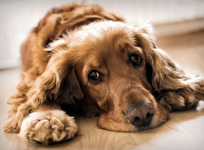 An average price tag of £2,230 makes the Cocker Spaniel the UK's ninth most expensive dog.