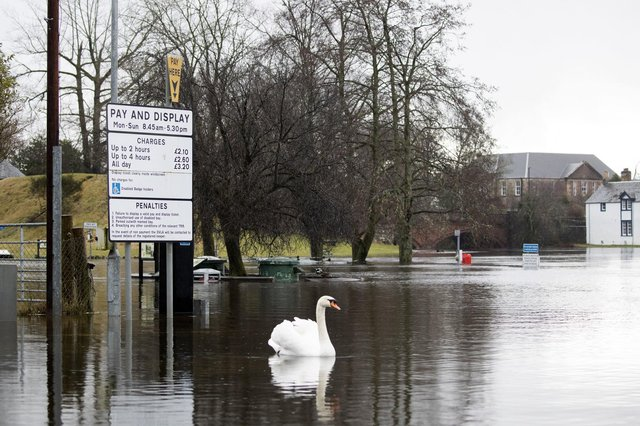 A swan nonplussed by the flooding today