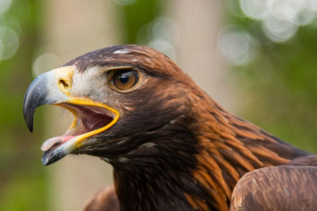 The new Moffat Golden Eagle Festival, led by the pioneering South of Scotland Golden Eagle Project, is the first of its kind in the UK. Photo: Phil Wilkinson