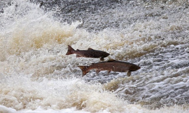 The life of a wild salmon is very different to those raised in fish farm cages (Picture: Jeff J Mitchell/Getty Images)