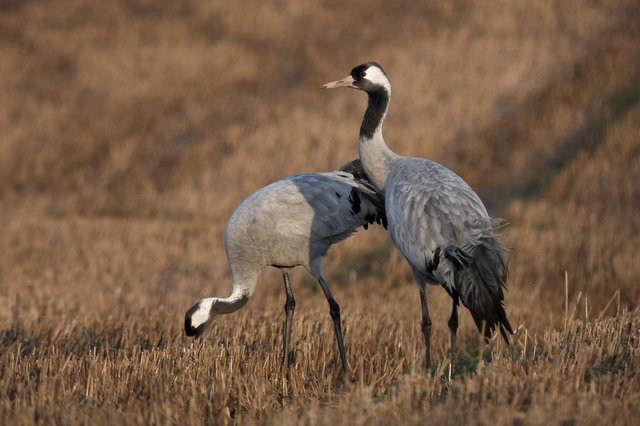 The common crane is the UK's tallest bird, standing up to 4ft in height, but it's far from common nowadays after becoming extinct here in the 1600s