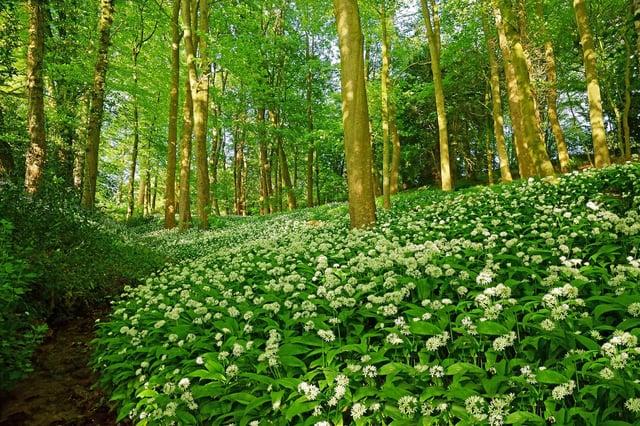 A footpath through a woodland full of wild garlic in Spring, Allium ursinum, in late evening sunlight