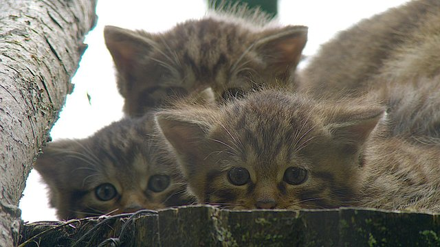 Young female wildcat Nell, with her siblings at Highland Wildlife Park, near Kingussie in the Cairngorms (Photo: Royal Zoological Society of Scotland/PA Wire).