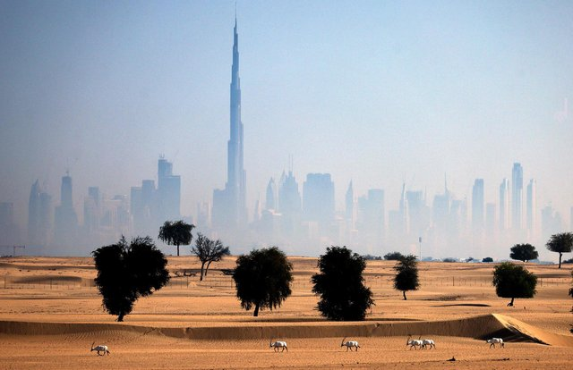 Arabian oryx antelopes are pictured in the desert in the United Arab Emirates (UAE), against a view of the city of Dubai, on the first day of Eid al-Fitr, which marks the end of the Muslim fasting month of Ramadan, on May 13, 2021. (Photo by KARIM SAHIN / AFP) (Photo by KARIM SAHIN/AFP via Getty Images)