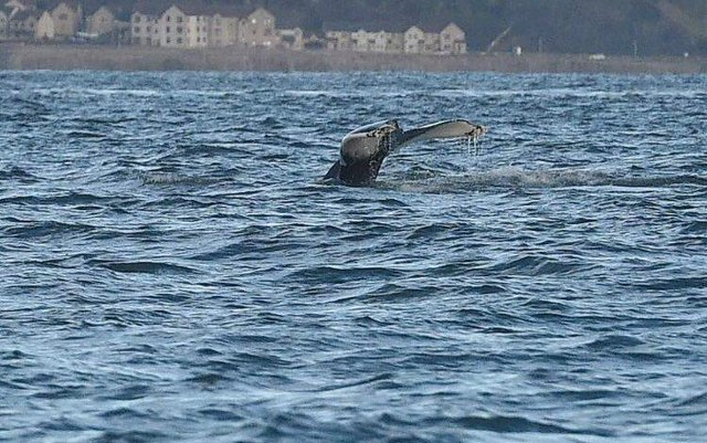 The mammal was spotted in the Firth of Forth on Saturday and Sunday picture: Greg Macvean